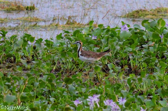 image 8215 of Pheasant-tailed Jacana