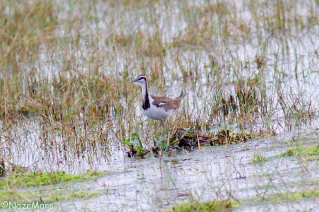 image 8216 of Pheasant-tailed Jacana