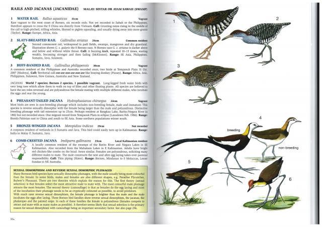 image 2540 of Pheasant-tailed Jacana