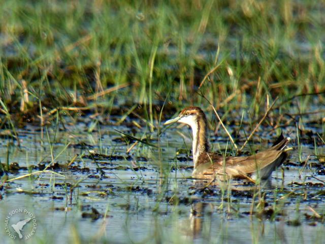 image 6955 of Pheasant-tailed Jacana