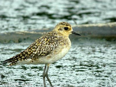 image 4547 of Pacific Golden Plover