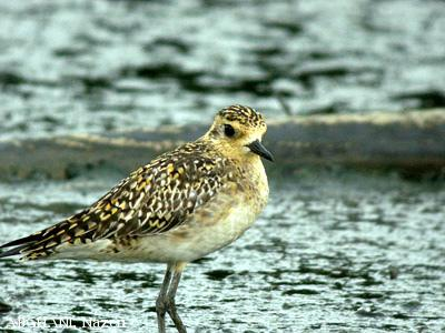 image 4532 of Pacific Golden Plover