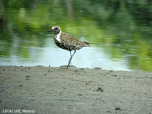 image 4541 of Pacific Golden Plover