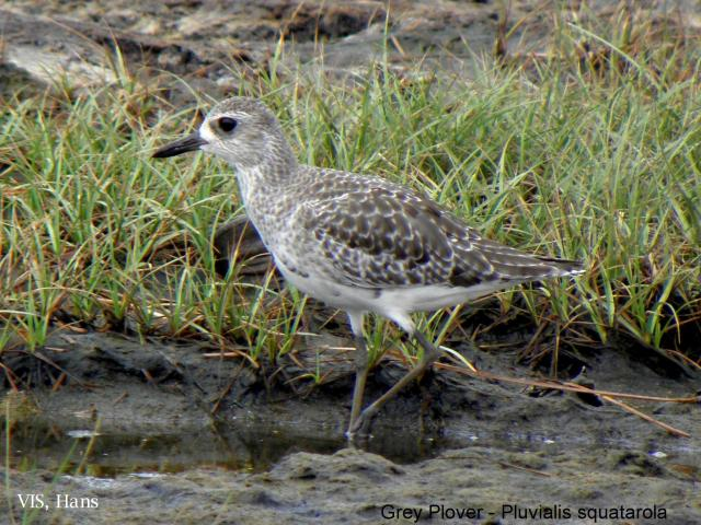 image 5505 of Grey Plover