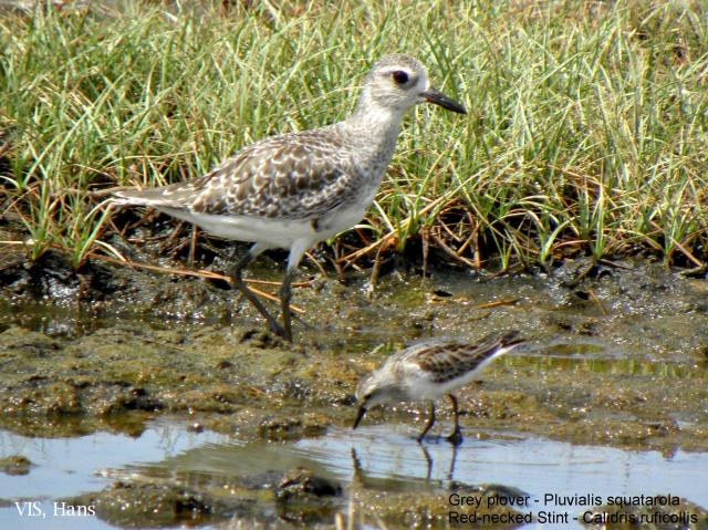 image 5504 of Grey Plover