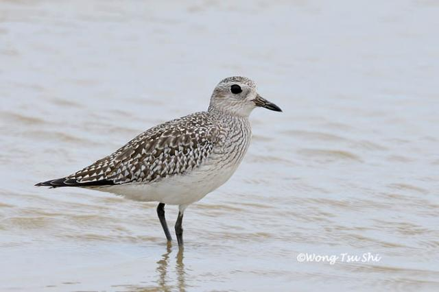 image 724 of Grey Plover
