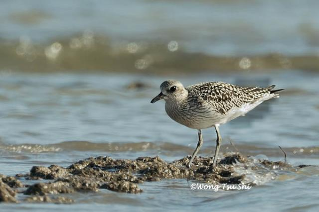 image 520 of Grey Plover