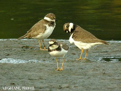 image 4562 of Little Ringed Plover