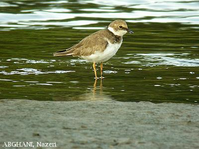 image 4558 of Little Ringed Plover