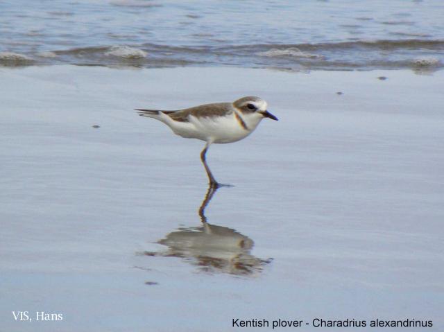 image 5508 of Kentish Plover