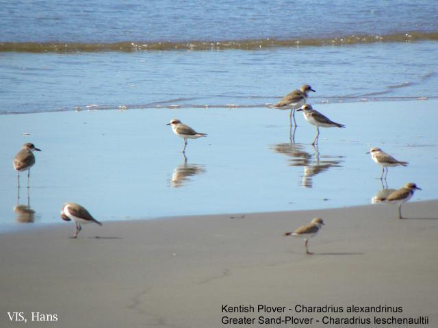 image 5510 of Kentish Plover