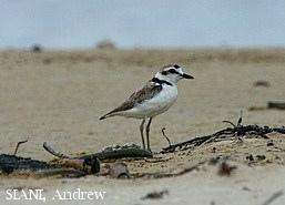 image 2973 of Malaysian Plover