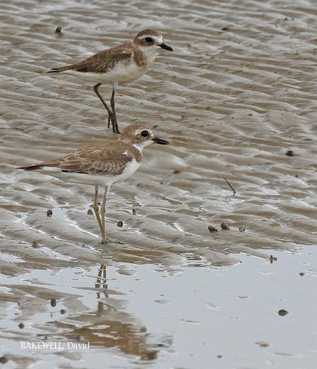 image 4112 of Lesser Sand Plover