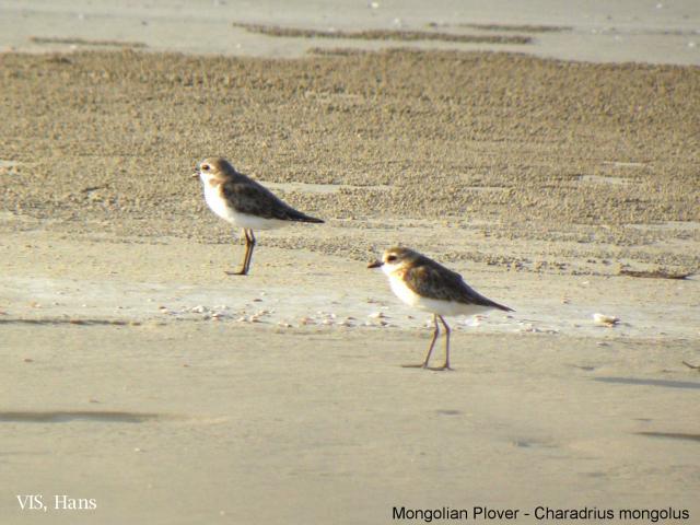 image 5519 of Lesser Sand Plover