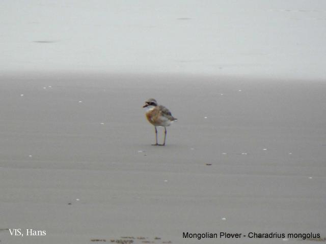 image 5518 of Lesser Sand Plover