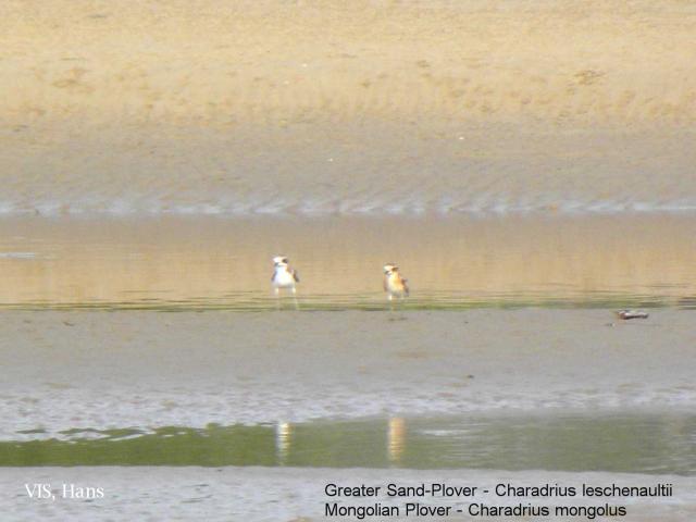 image 5520 of Lesser Sand Plover