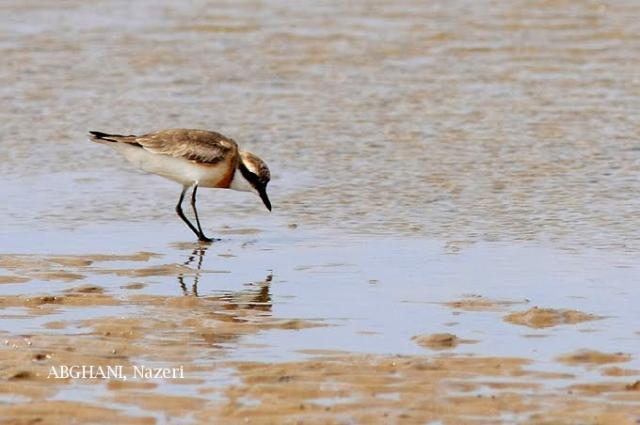 image 4748 of Lesser Sand Plover