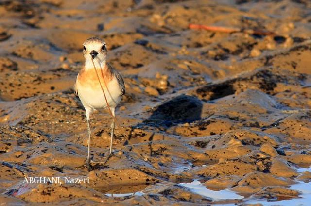 image 4749 of Lesser Sand Plover