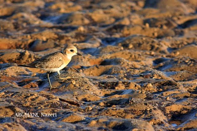 image 4750 of Lesser Sand Plover