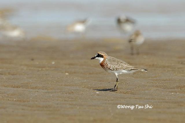 image 523 of Lesser Sand Plover