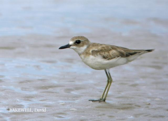 image 4026 of Greater Sand Plover