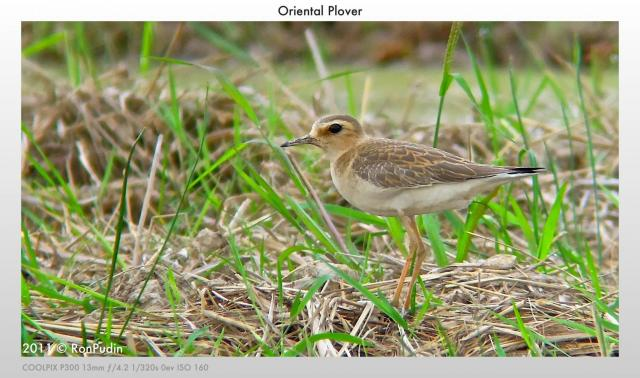 image 6540 of Oriental Plover