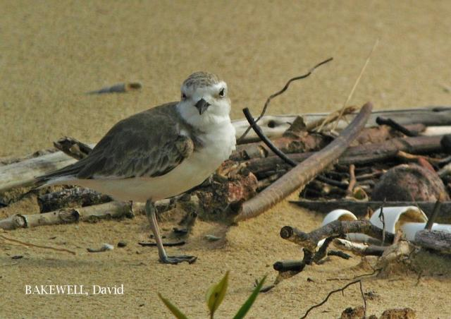 image 4124 of White-faced Plover