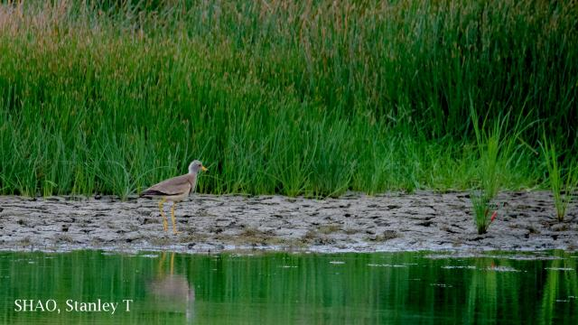 image 7720 of Grey-headed Lapwing