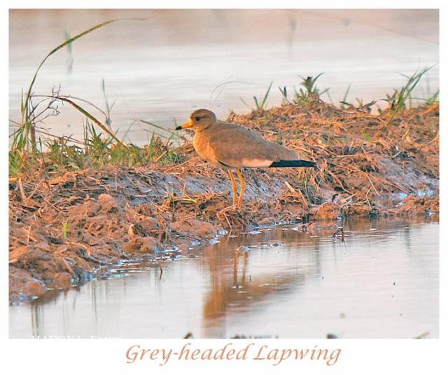 image 6434 of Grey-headed Lapwing