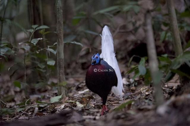 image 7329 of Bulwer's Pheasant