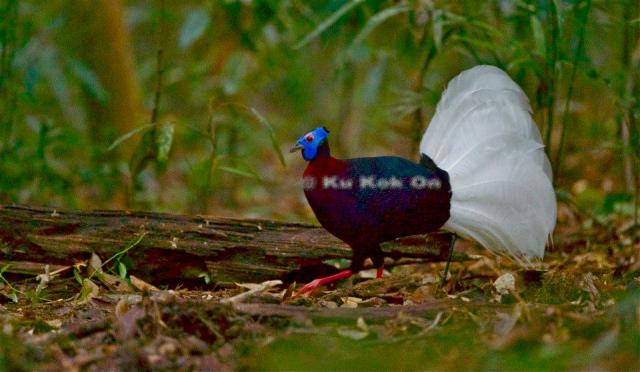 image 7108 of Bulwer's Pheasant