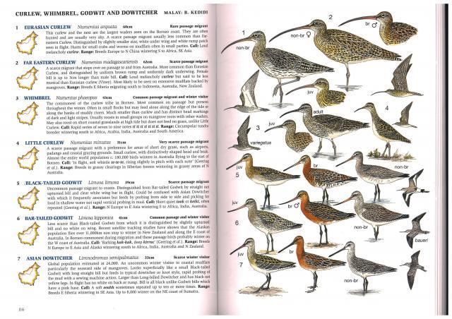 image 2574 of Black-tailed Godwit