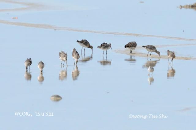 image 6124 of Black-tailed Godwit