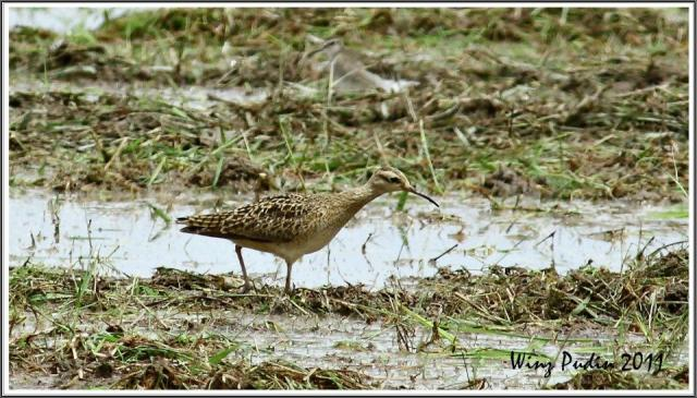 image 6538 of Little Curlew