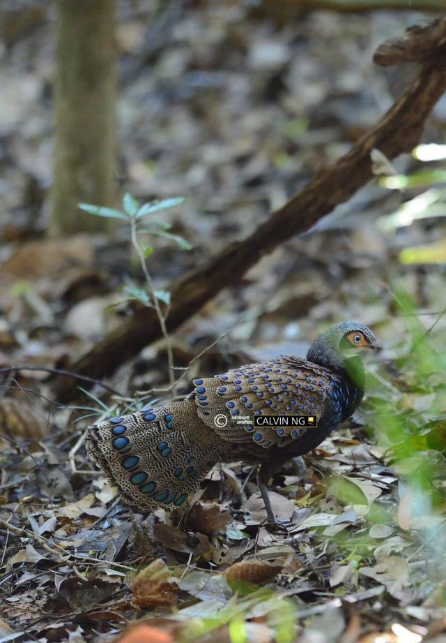 image 7327 of Bornean Peacock Pheasant