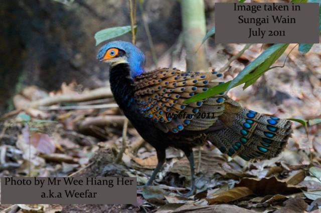 image 7820 of Bornean Peacock Pheasant