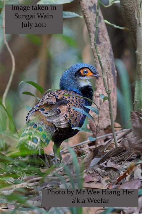 image 7821 of Bornean Peacock Pheasant