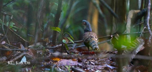 image 7328 of Bornean Peacock Pheasant