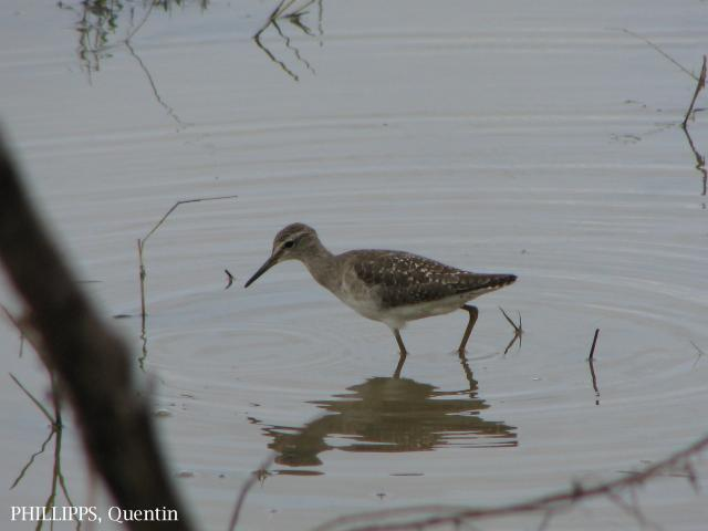 image 1553 of Wood Sandpiper