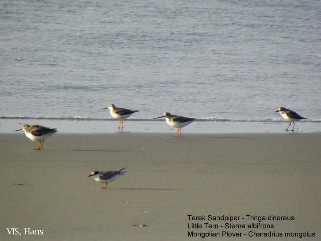 image 5537 of Terek Sandpiper