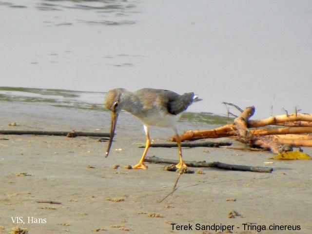 image 5538 of Terek Sandpiper