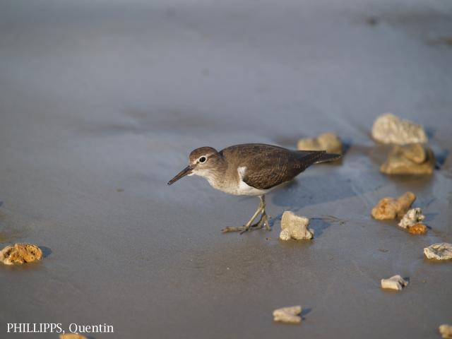 image 1556 of Common Sandpiper