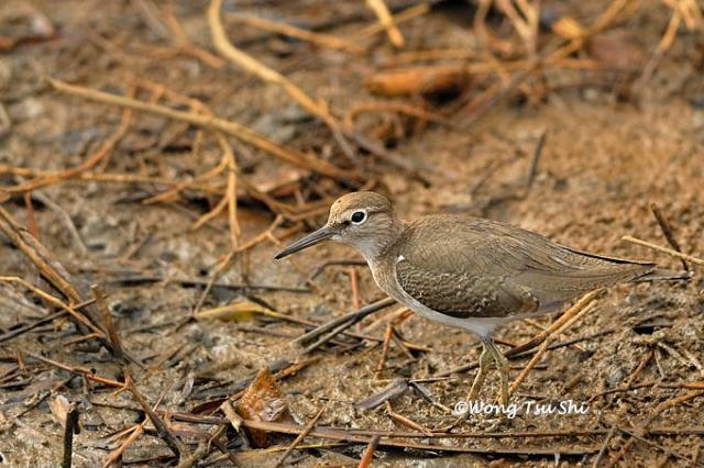 image 378 of Common Sandpiper