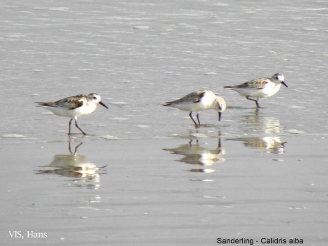image 5548 of Sanderling