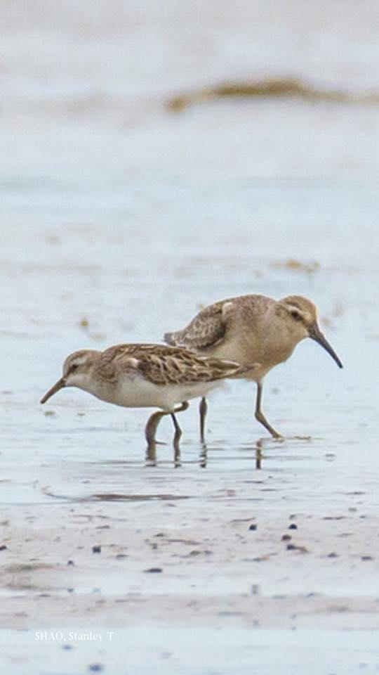 image 7824 of Little Stint