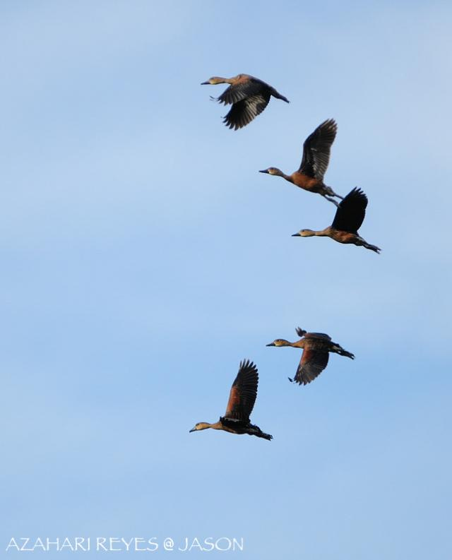 image 3734 of Wandering Whistling-duck