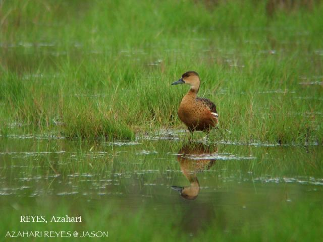 image 3359 of Wandering Whistling-duck