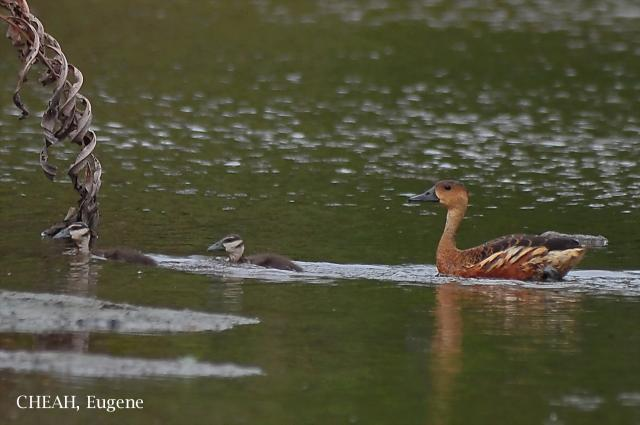 image 6503 of Wandering Whistling-duck