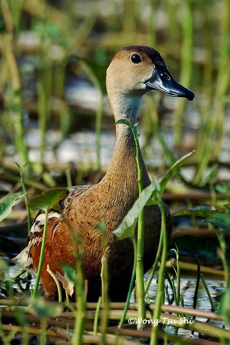 image 451 of Wandering Whistling-duck