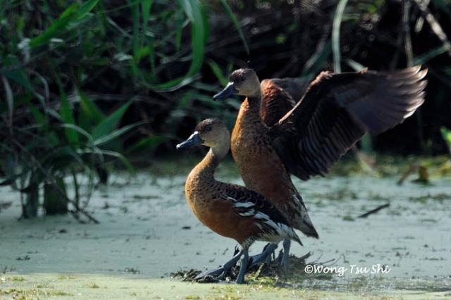 image 806 of Wandering Whistling-duck
